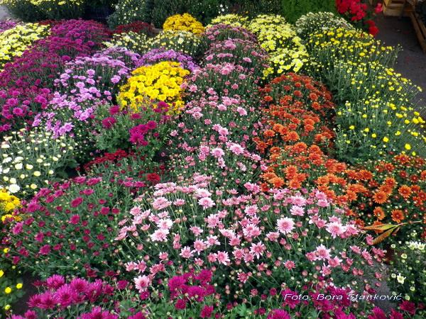 TAMOiOVDE-cveće